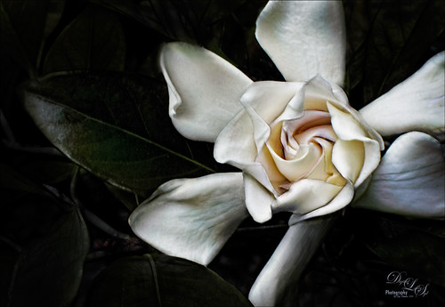 Image of a white gardenia