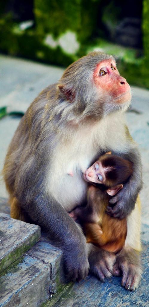 Monkey mother and Child in Nepal (www.kunst-und-gedanke.de ...