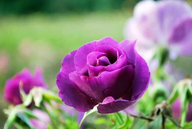 natural purple rose flickr photo sharing