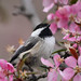 Gazing Chickadee