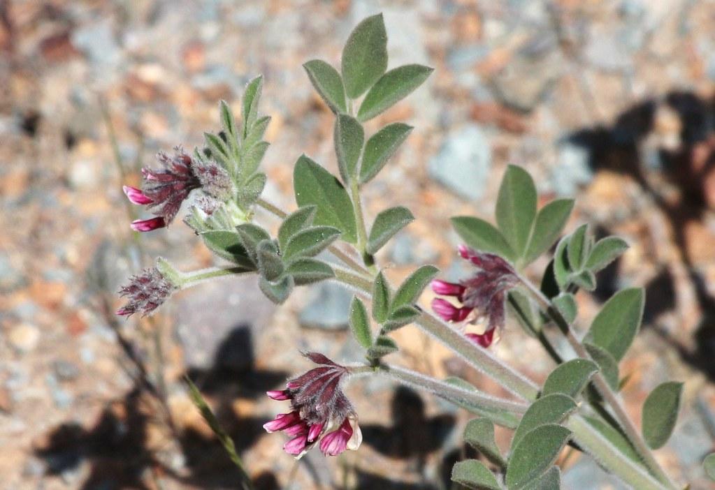 Otay Mountain Lotus Otay Mountain ca 3-22-14