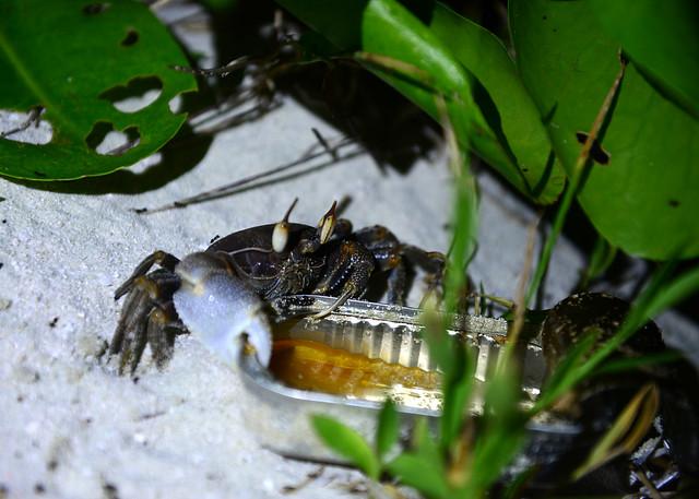 Uno de los cangrejos que se llevó nuestra comida en la isla desierta