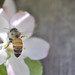 Honeybee on Apple Blossom