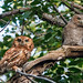screech-owls-june2012-5