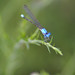 blue dragon fly 8-21-10