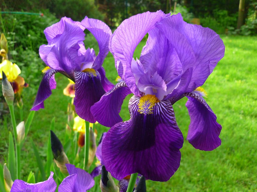 iris x barbata elatior dark triumph iris x barbata elati flickr. Black Bedroom Furniture Sets. Home Design Ideas