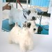 sealyham terrier 069