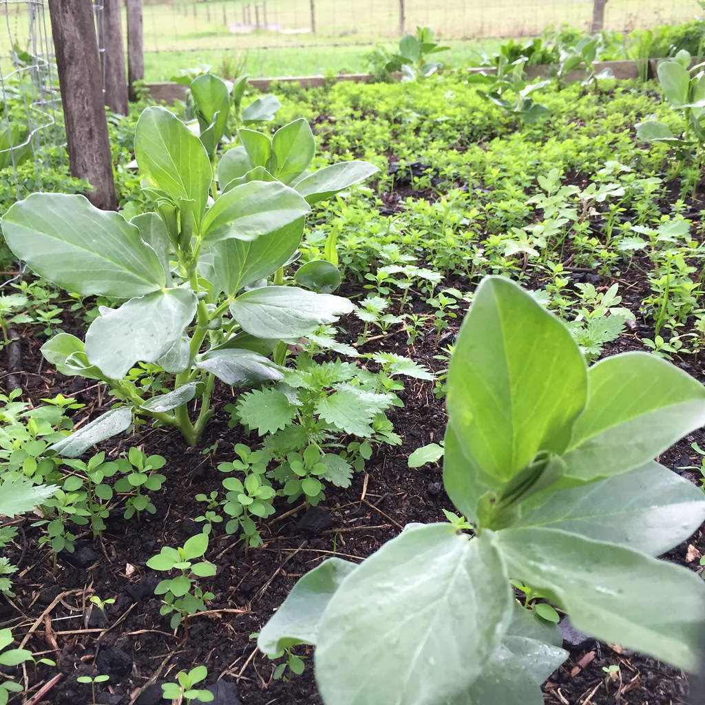 broad beans sprouted out of the soil, surrounded by weeds! eep!