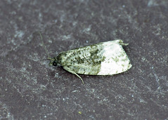 49.158 Buff-tipped Marble - Hedya ochroleucana