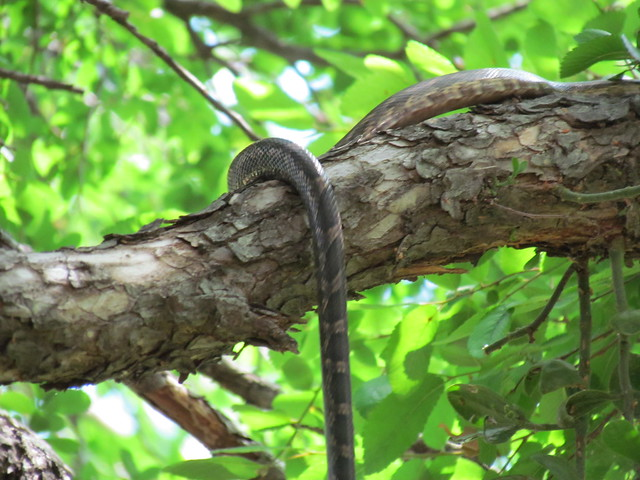 Texas tree snake 3 flickr photo sharing Garden snakes in texas