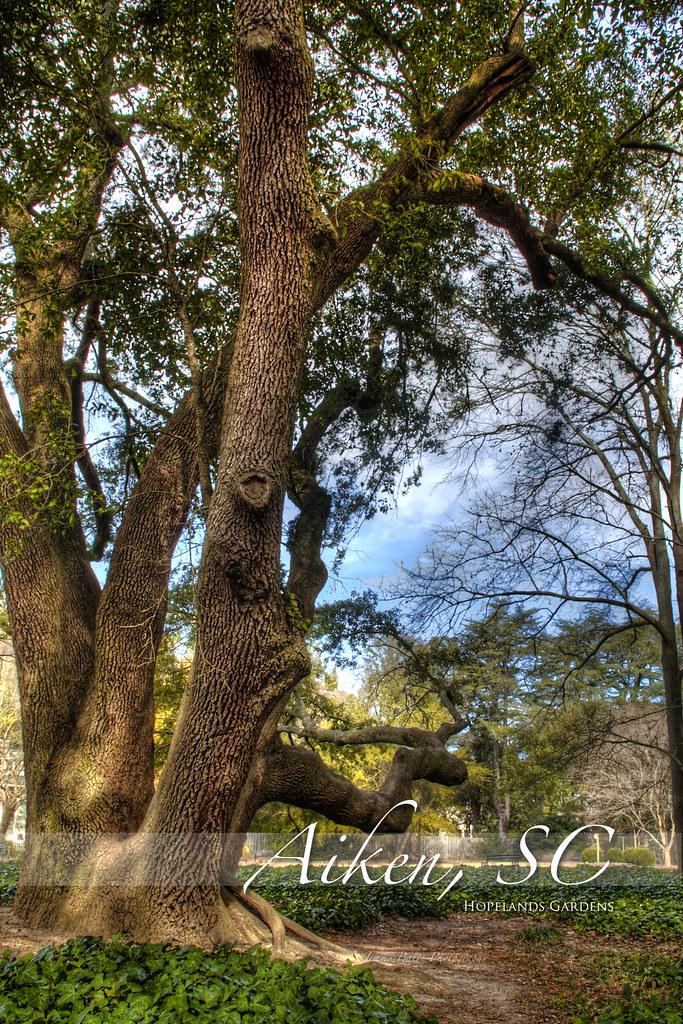 Hopelands Gardens Aiken Sc This Is An Old Oak Tree In