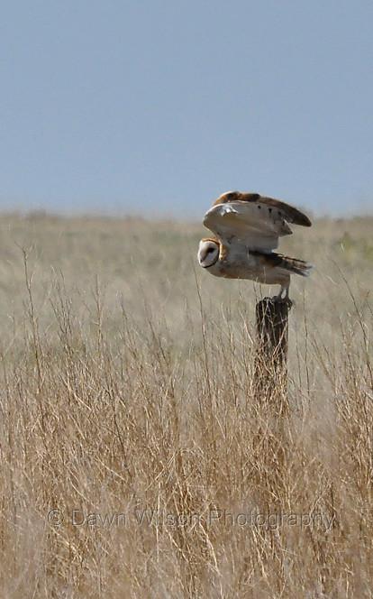 Barn Owl Taking Off Barn Owl at Tak...