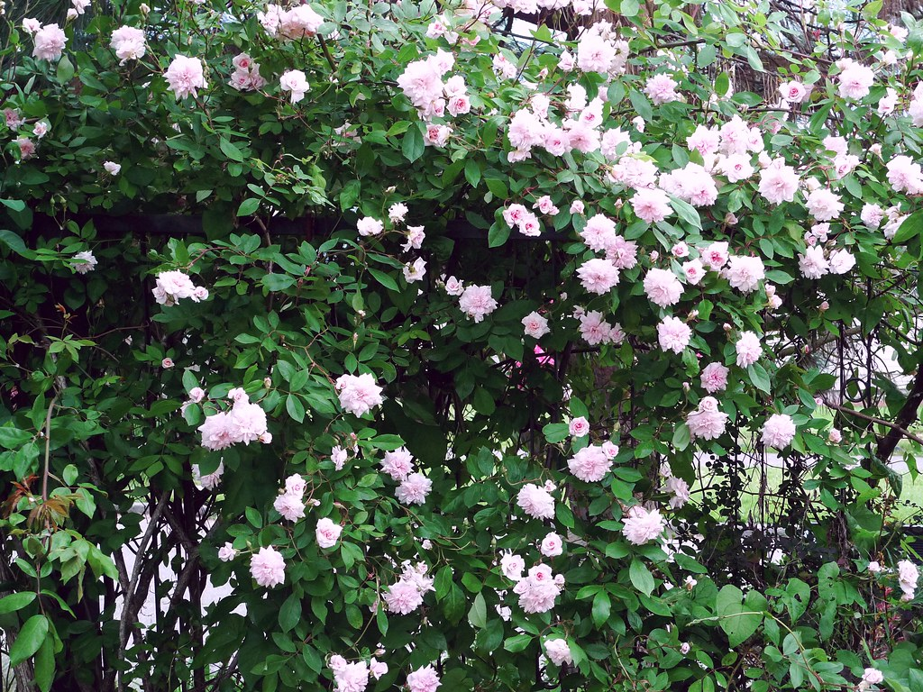 Cecile Brunner Rose Climbing Quot Cecile Brunner Quot Climbing Rose