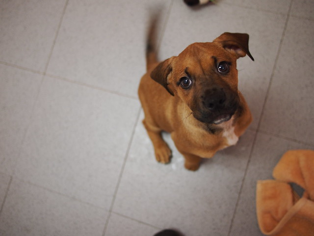 Boxer Bloodhound Mix Puppies Lab/hound boxer mix puppies