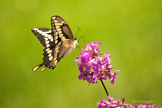 Giant Swallowtail (best on black) | by jaros 2(Ron)