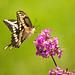 Giant Swallowtail (best on black)