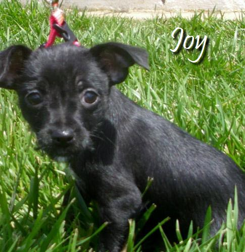 Joy Chihuahua Terrier Mix Puppy Female Adopted