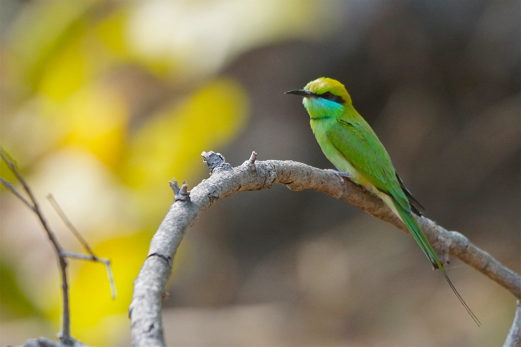 Green Bee-eater, Tadoba Tiger Reserve, India