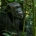 Eastern Chimpanzee Pan troglodytes schweinfurthii