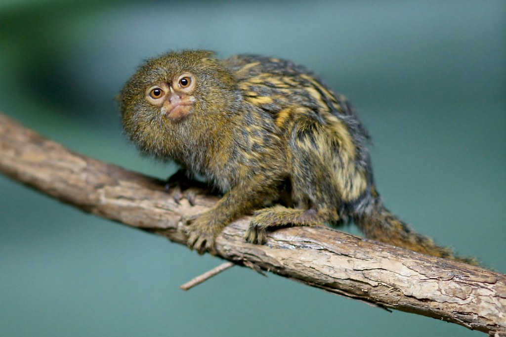 South american midget monkeys necessary words