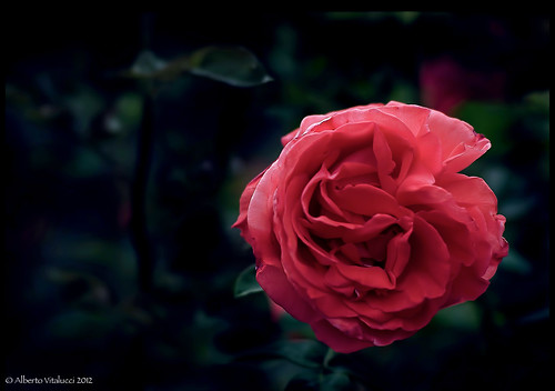 Give my love to rose. | by serenaseblu 