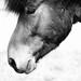 Horse - Hestur - Equus