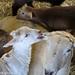 Clare Elizabeth and her triplet lambs 2 - FarmgirlFare.com