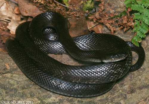 Black Rat Snake | by Nick Scobel