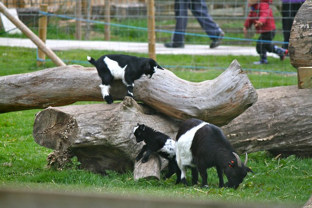 Baby pygmy goat jumping - photo#18