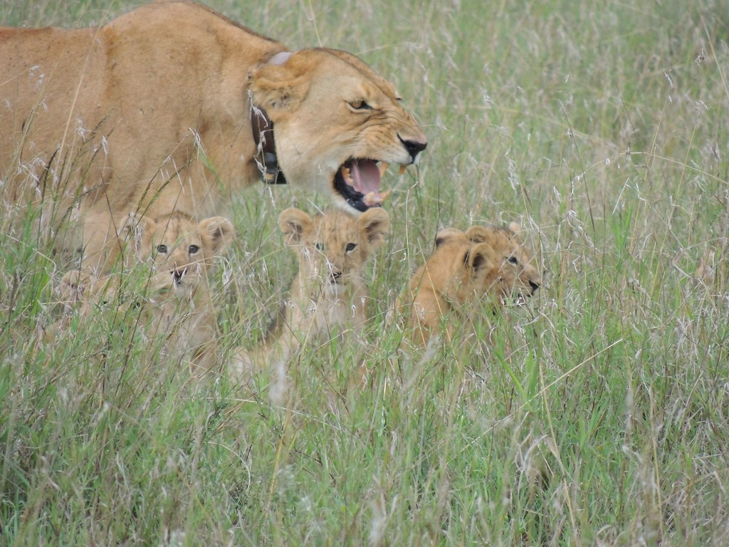 Lion protecting lioness
