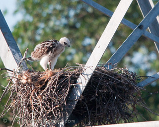 Red-tailed Hawk Eyas at Nest | by TheBirdersReport.com