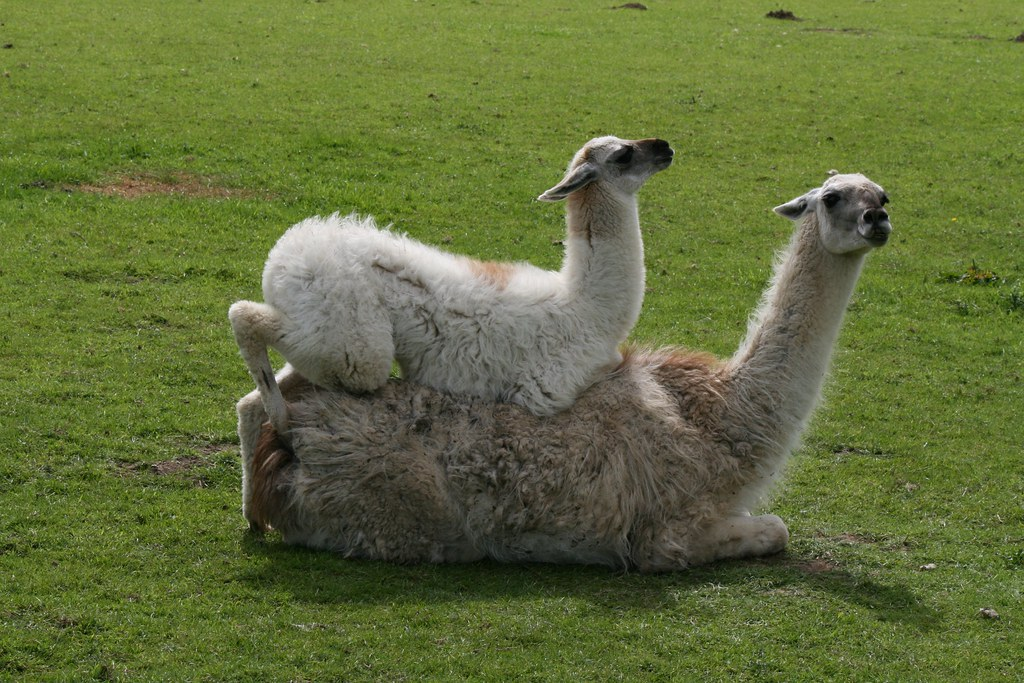 baby llama lying on top of llama