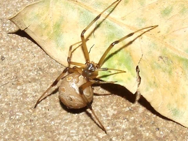 Theridiidae>Latrodectus geometricus Female Brown Widow ...