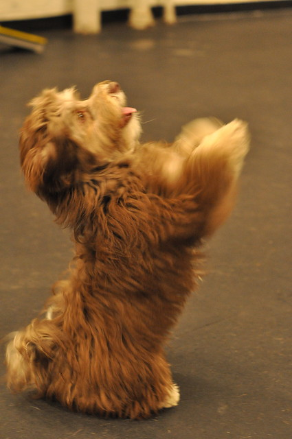 Havanese Dogs Food Allergies