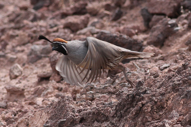 Quail Bird Flying
