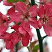 Five Flowering Crabapple Blossoms