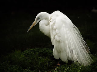 Great Egret | by gwburke2001