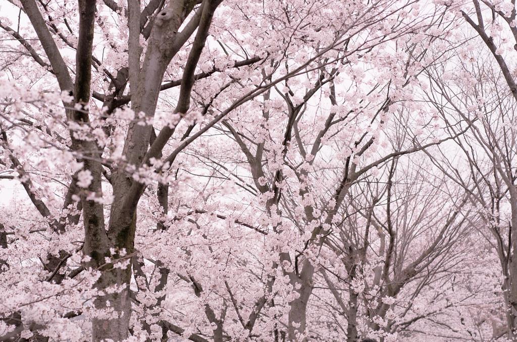Limited White >> Sakura Forest   Pentax K-5 DA 70mm F2.4 Limited   Toshi   Flickr