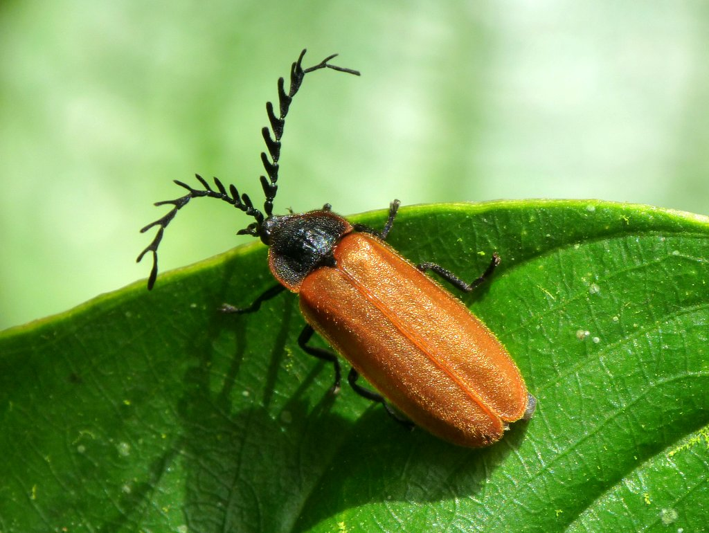 firefly or false soldier beetle omethidae andreas kay