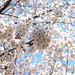 Cherry Blossom Trees in Nerima, Tokyo