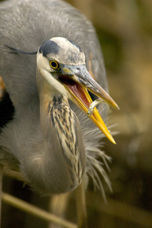 Photo of the Week - Great Blue Heron (VA) | by U. S. Fish and Wildlife Service - Northeast Region