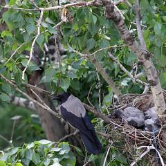 Воронье семейство