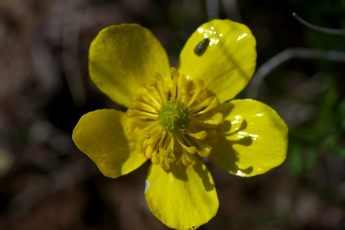 Ranunculus reconditus (Ranunculaceae); Obscure buttercup | by foliosus