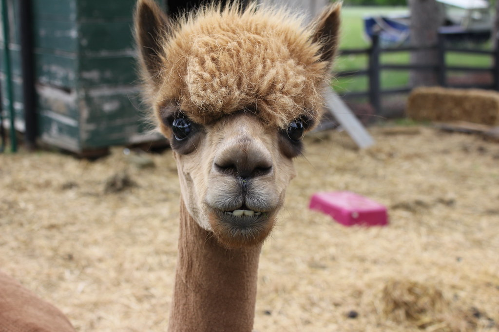 Fluffy's Alpaca Smile | He wanted to make sure that I ...