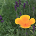 California Poppy and Lavender