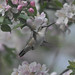 Ruby-Throated Hummingbird & Apple Blossoms 1