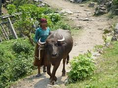 Frau mit Büffel in Nepal
