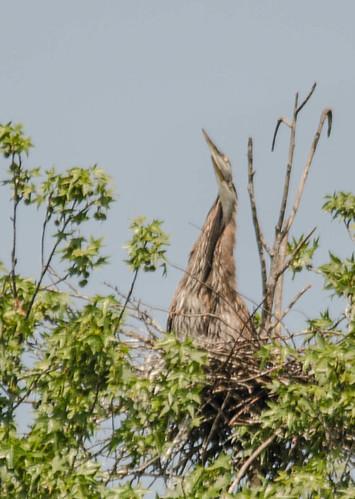 Lake Connestee Heron Rookery-018