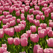 Pink Tulips Carpet