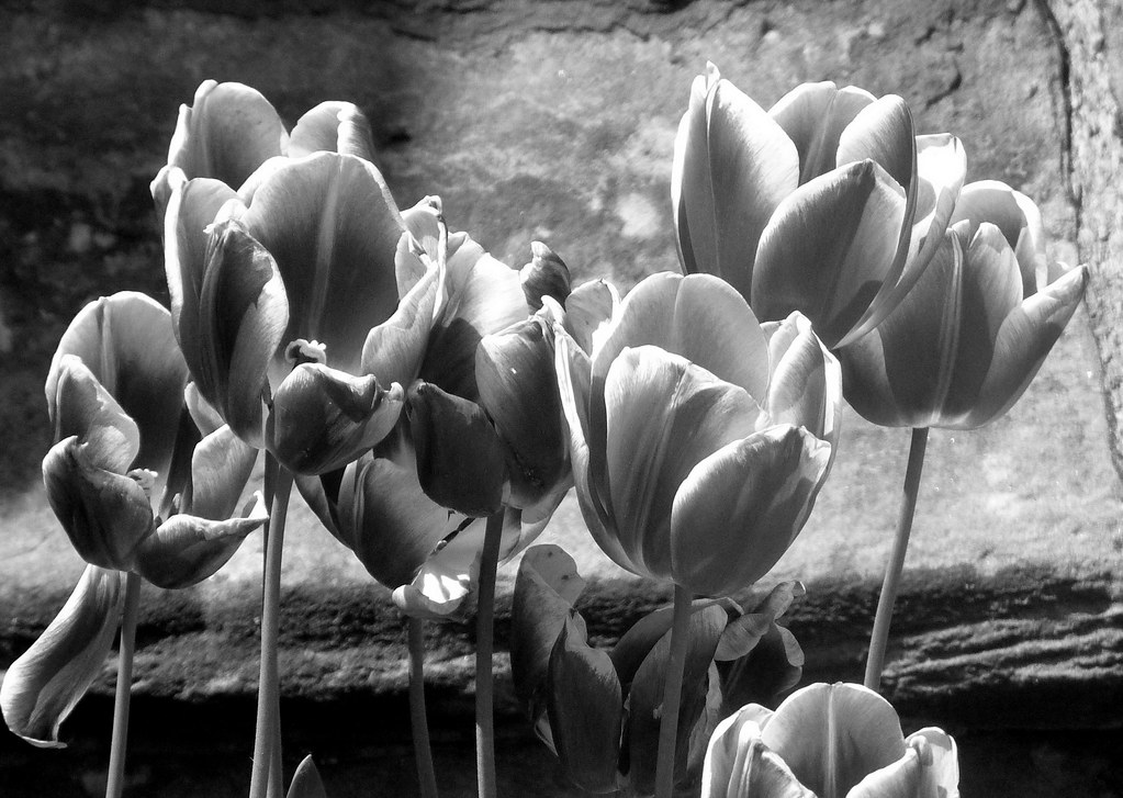 Black And White Tulip Photography Tulips in Black And White